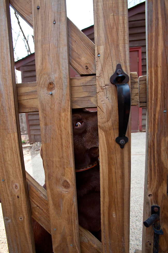 Dog_looking_through_fence_terri_aigner
