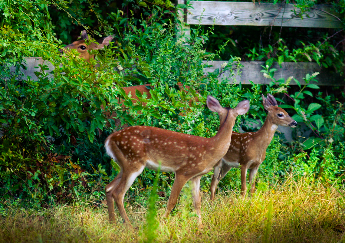 Deer-with-fawns-0571