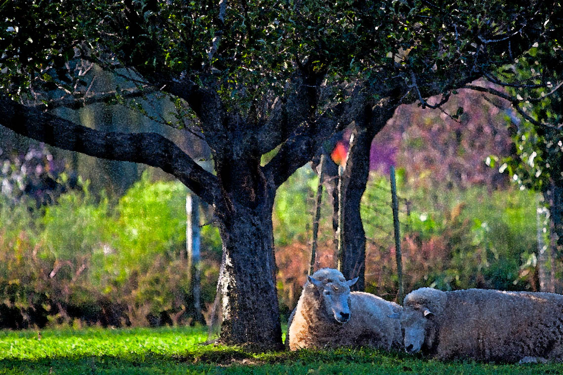 Terri-Aigner_Animals_Sheep_Dozing_In_Spring-50-of-1