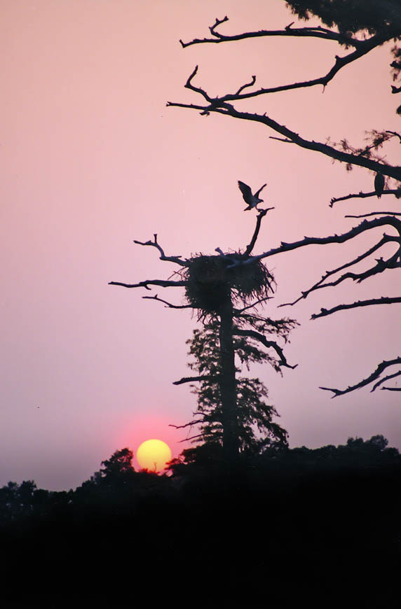Terri-Aigner_Wildlife-Ospreys-at-Nest-at-Sunset-CHickahominy-River-Va-50-of-1