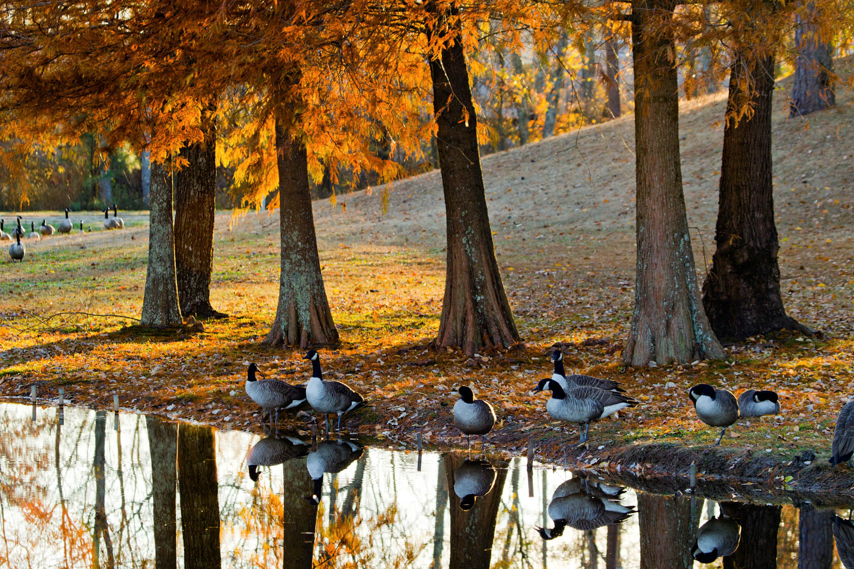 Canada-geese-reflecting-in-stream-autumn_MG_5598