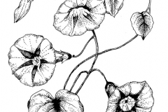 Line Art: Morning Glories