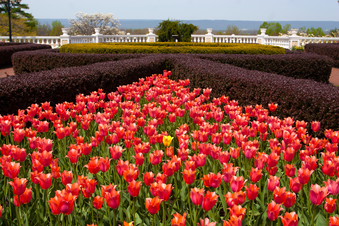 1_Yellow-tulip-standing-out-from-crowd-of-red-ones