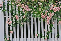 roses-on-fence-1528682657852-4