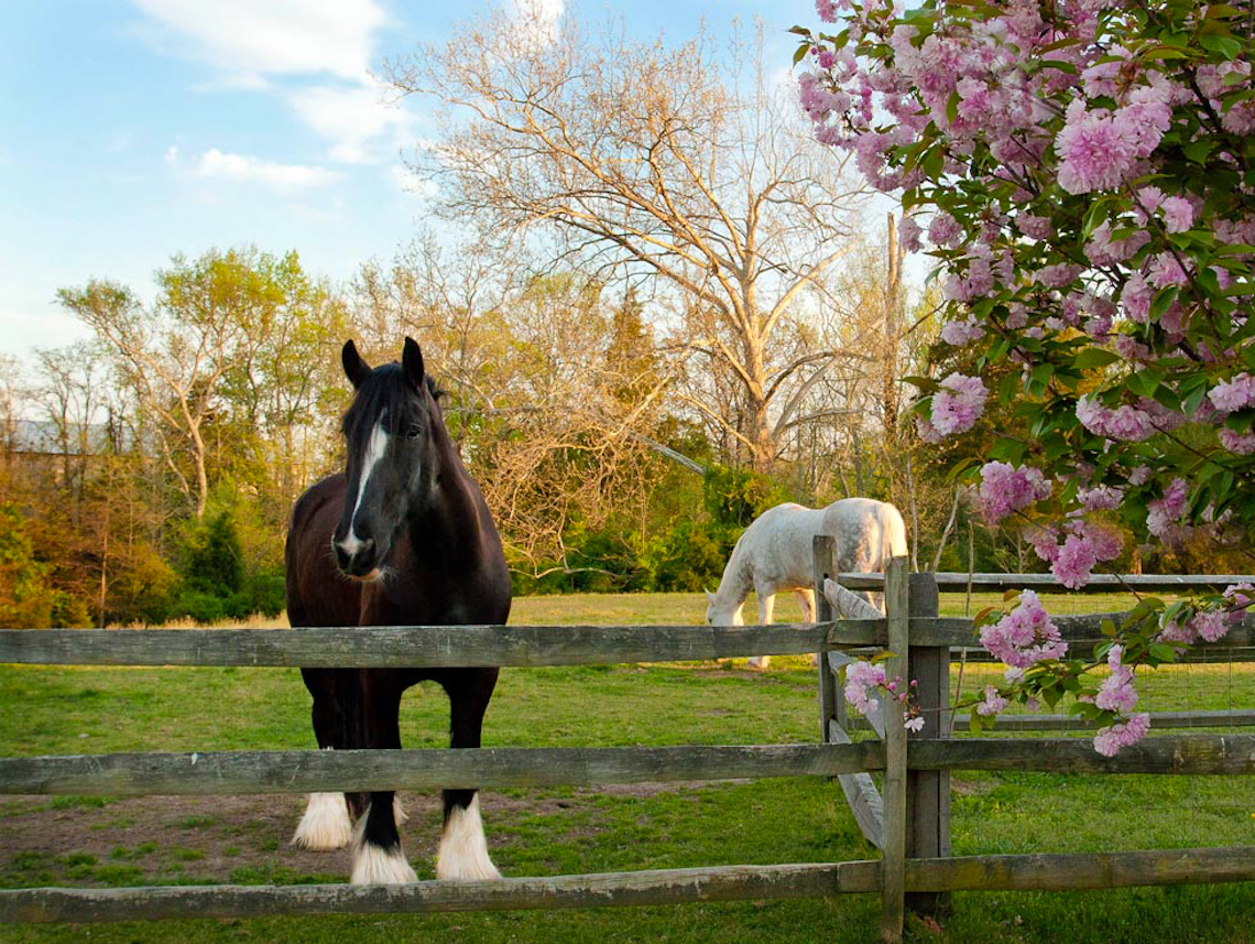 shire-horse-and-irish-draft-in-spring-pasture