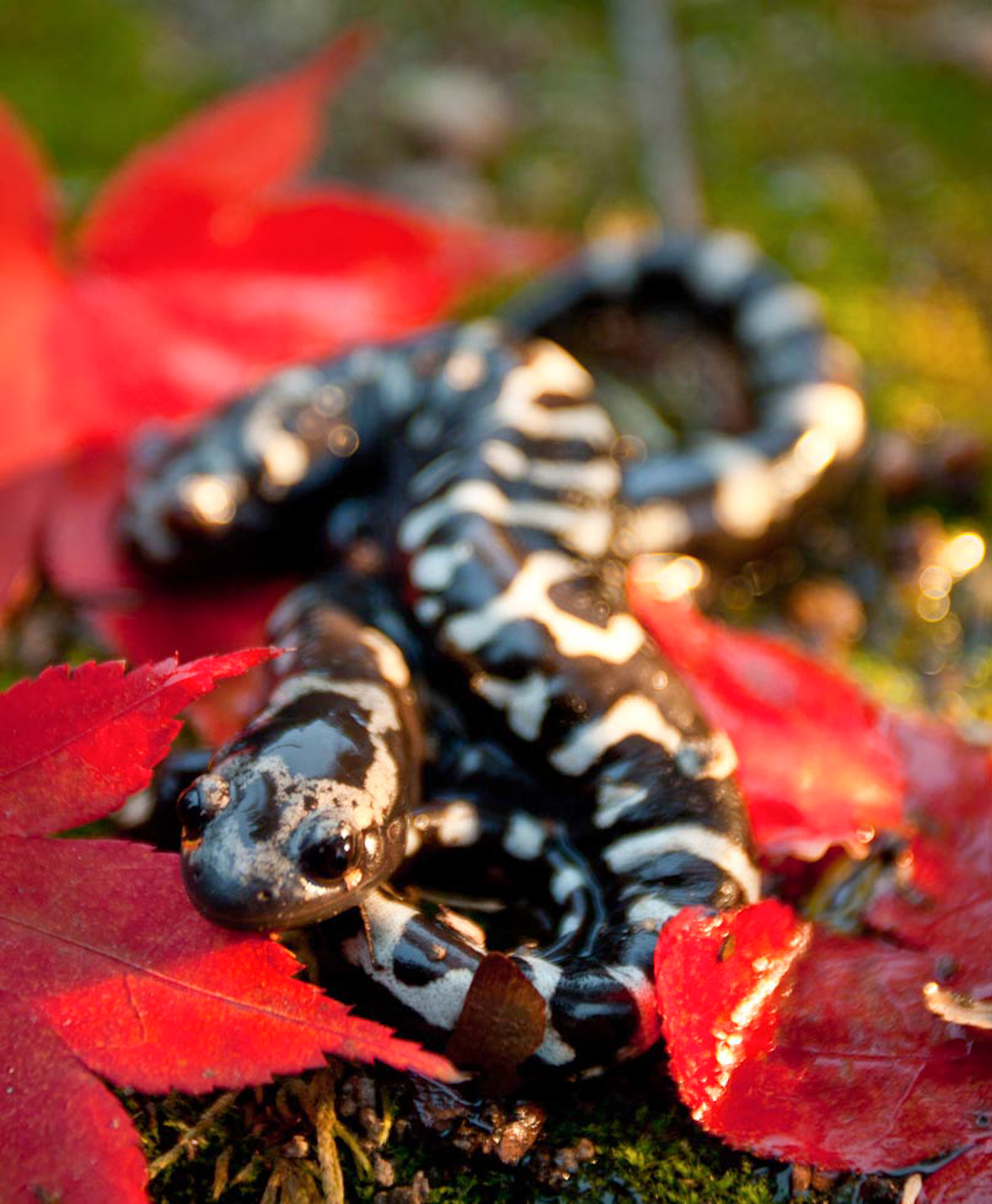 Marbled-Salamander-male-and-female_MG_6936New-Kent-Va_1