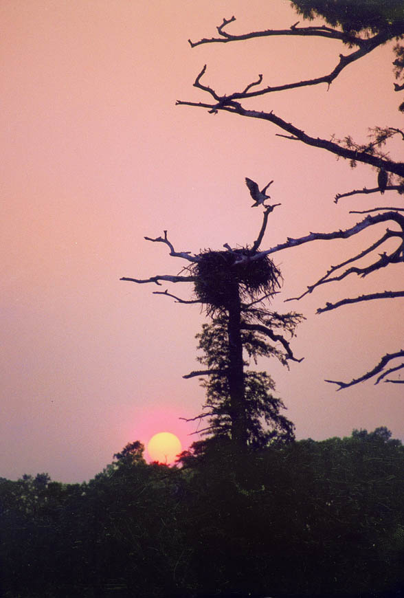 Terri-Aigner_Animals-Ospreys_at_Nest_Sunset-50-of-1