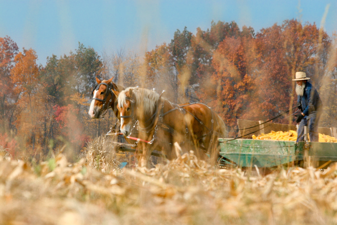farmer-harvests-corn-in-field-with-belgian-draft-horse-team-9166