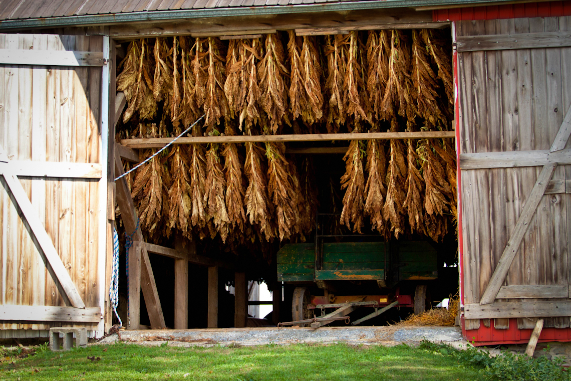 tobacco-harvest-hanging-drying-in-barn-